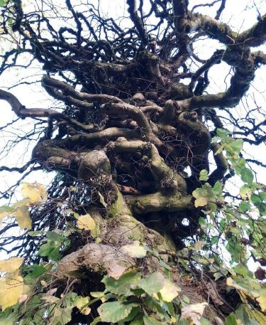 Camperdown Elm Heritage Tree